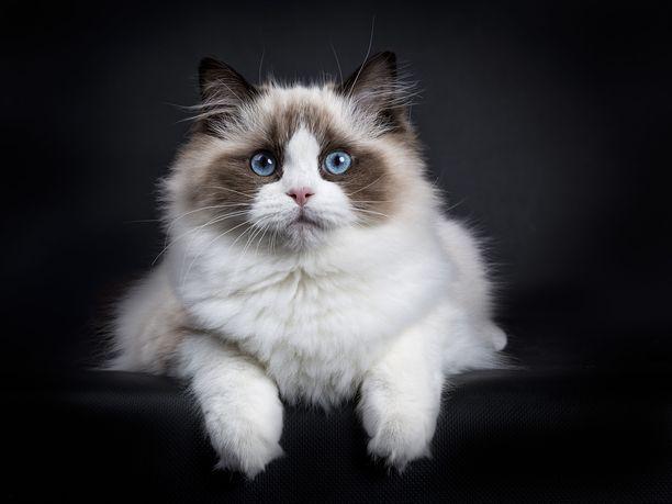 Ragdoll-rotu on jalostettu 1960-luvulla. Niillä on siniset silmät ja pehmoinen olemus. Ragdollit kiintyvät omistajiinsa syvästi ja ovat luonteeltaan rauhallisia ja seurallisia.