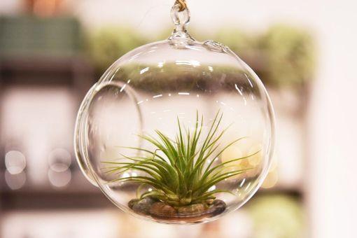 Ilmakasveja voi hyödyntää kodin sisustuksessa esimerkiksi näin.