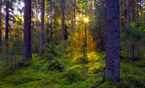 Korvauksia metsäyhtiöiltä vaatii lähes viisisataa yksityistä metsänomistajaa.