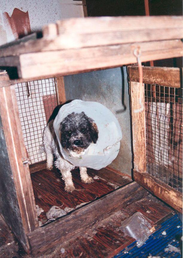 Huonoista oloista tulevilla koirilla ilmenee monenlaisia vaivoja. Kuva suomalaisesta pentutehtaasta.