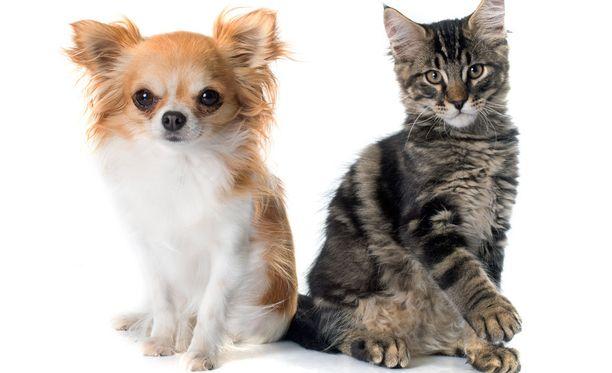 Koirilla tassuisuus jakautuu tasaisemmin kuin kissoilla.
