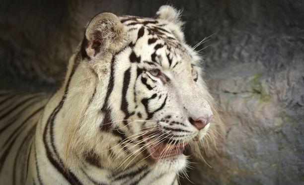 Valkoisesta tiikeristä käytetään myös nimitystä rewantiikeri.