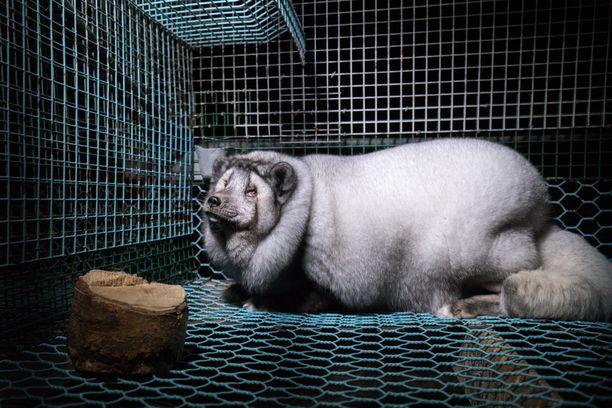 – Turkistarhauksen aika alkaa nyt olla ohi, Oikeutta eläimille -yhdistuyksen Kristo Muurimaa linjasi.