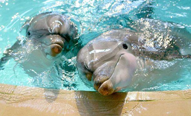 Särkänniemen delfinaario saattoi jäädä Suomen viimeiseksi delfinaarioksi. Kuvassa Särkänniemen Näsi ja Delfi.