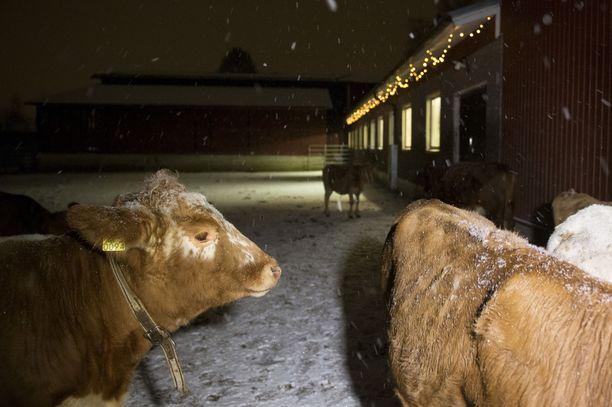 Osa lehmistä pääsi ulos nauttimaan jouluvaloistaan.