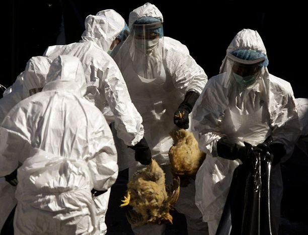 Kanoja teurastettiin tukkumarkkinoilla Hong Kongissa joulukuussa 2008 sen jälkeen, kun kolmen kanan oli todettu saaneen tartunnan lintuinfluenssavirus H5N1:stä. Samasta viruksesta on nyt luotu helposti tarttuva versio.