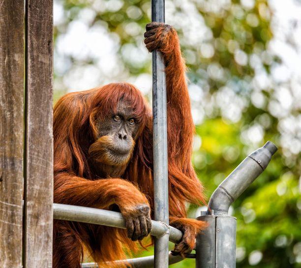Puan teki suuren työn maailman orankipopulaation elvyttämiseksi.