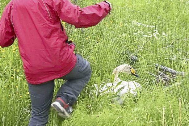 Biologi Anne Hirvonen pelastamassa verkkoaitaan takertunutta emojoutsenta Viljakkalan Lapiolammella tänä kesänä.