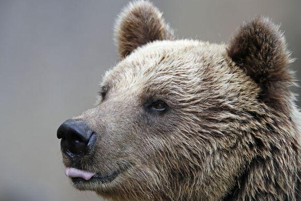 Poliisin mukaan karhu ennemminkin lönkötteli perässä kuin jahtasi poikia. Kuvituskuva.