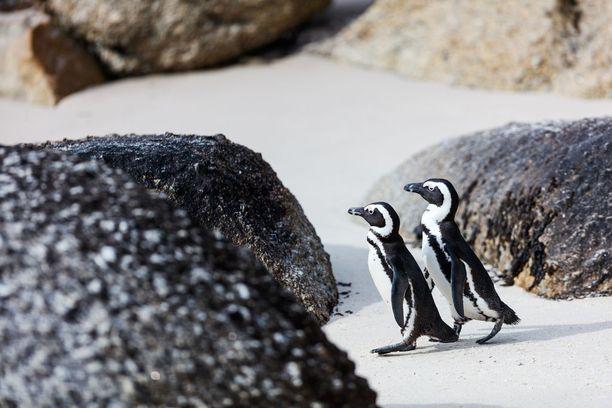 Afrikanpingviinejä Boulders Beachilla.
