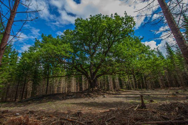 Arvokkaan tammivanhuksen ympäriltä raivattiin muutama vuosi sitten puita, jotta se saa tarpeeksi valoa.