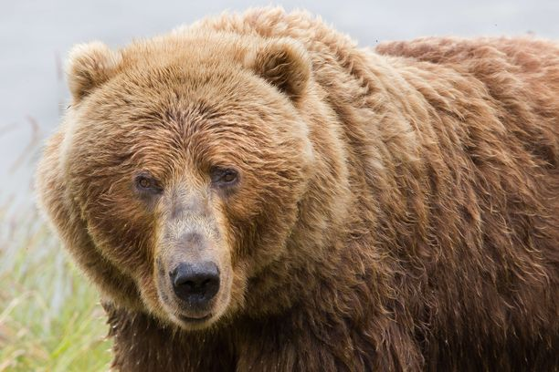 Karhut vetäytyvät pian talviunille.