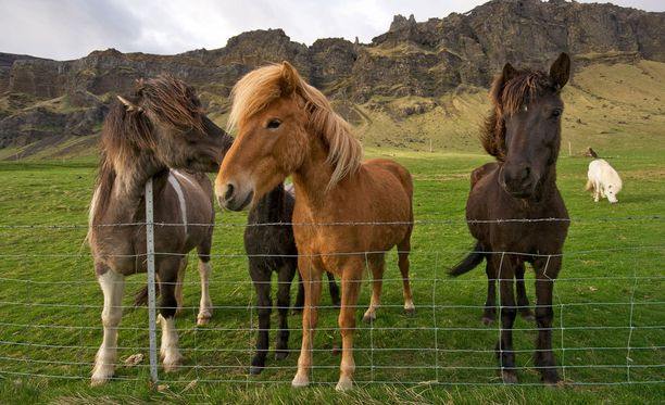 Ensikertalainenkin pääsee hyvin ratsastuksen makuun islanninhevosen selässä.