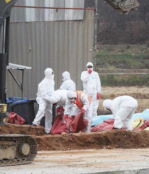 Terveystyöntekijät keräsivät lintuja farmilla Soulin eteläpuolella Etelä-Koreassa keskiviikkona.