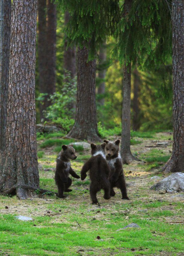 Tanssivat karhut tuli toiseksi britannialaisessa NAPA-kilpailussa.