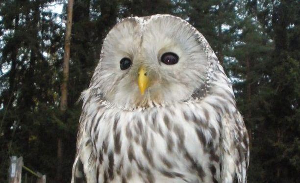 Viirupöllöt ovat rauhoitettuja lintuja.
