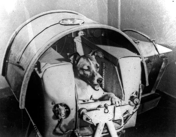 Laika hetkeä ennen kapselin asennusta Sputnik 2:een.