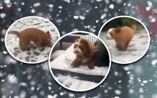 Voi tätä ilon määrää! Frank-koira näki ensimmäisen kerran lunta Australiassa