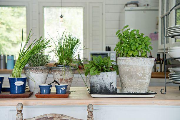 Rakkaus puutarhanhoitoon näkyy myös mökin sisällä. Basilikaa tai ruohosipulia saa mökkiruokiin suoraan omasta ruukusta.