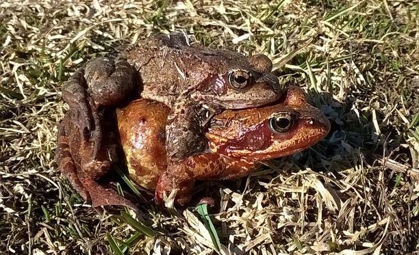 Auringonpaiste helli sammakoita ja sammakot toisiaan.