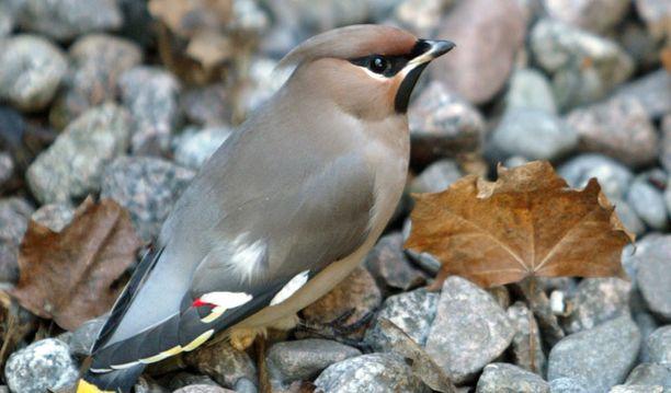 Tämä tilhi oli nauttinut lintua väkempää lokakuussa 2004 Tampereella, jossa se törmäili lahitoveriensa kanssa ikkunoihin.