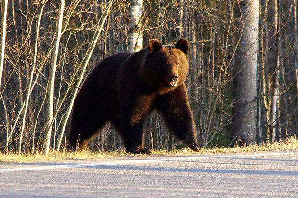 Tämä karhu kuvatiin Hyvinkäällä toukokuun alussa.