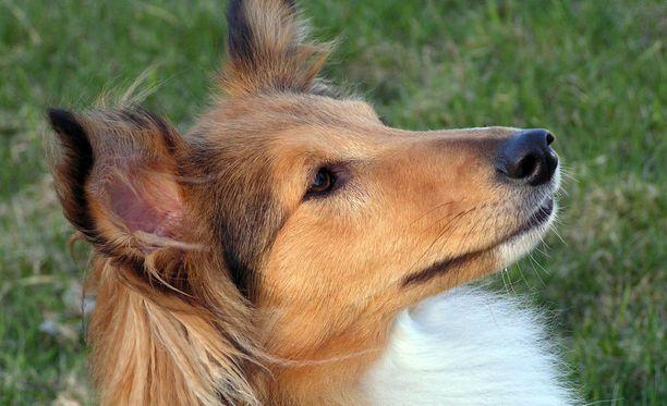 Shetlanninlammaskoira kuoli Espoossa jouduttuaan toisen koiran hampaisiin. Kuvituskuva.