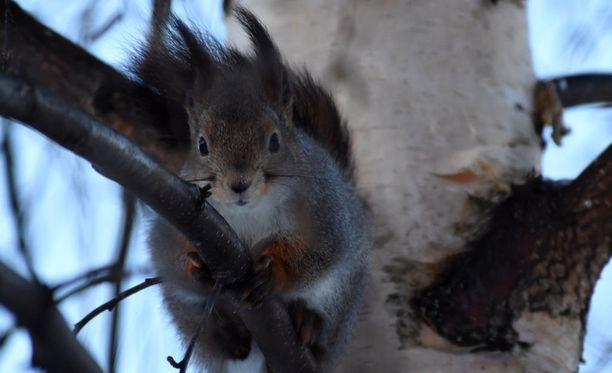 Kuvan orava ei ole sama kuin videolla loikkivat.