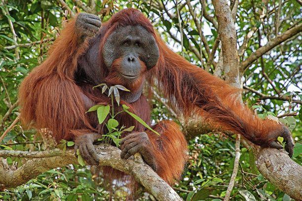 Orangit ovat hyvin älykkäitä eläimiä.