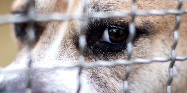 Chico katseli ulos häkistään viime viikolla eläinten suojakodissa Saksan Langenhagenissa.