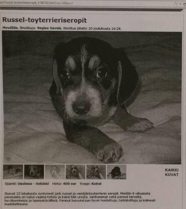 Russeltoyterrierisekoitusta helsinkiläiseltä kasvattajalta. Valitettavasti kasvattaja ei ollut huolehtinut koirien terveysvelvoitteista.
