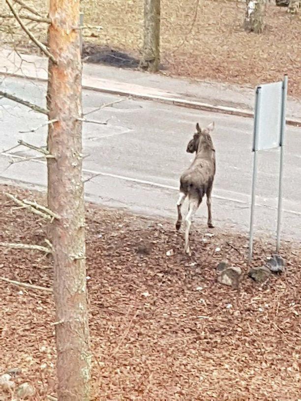 Hirvi näyttäytyi lauantaiaamuna Itä-Helsingin Kontulassa.