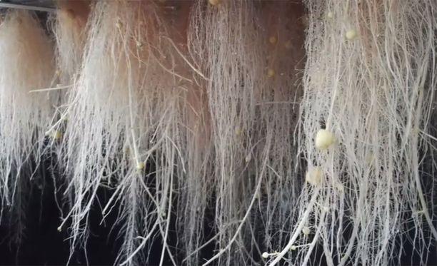 Perunan juuret kasvavat pimeässä, suljetussa kammiossa ilmassa roikkuen.