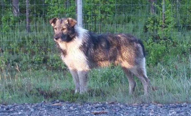 Herra Koira kuvattiin viikonloppuna Sangisissa, Norrbottenin läänissä. Kuvaaja kuvaili koiraa likaiseksi ja araksi.