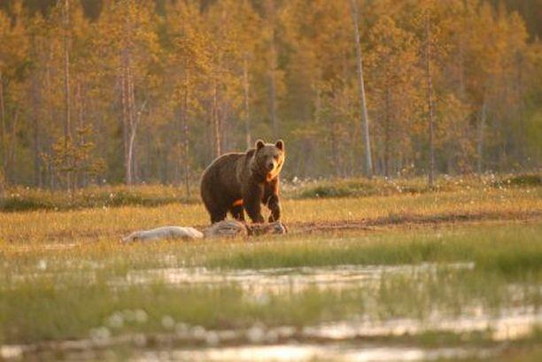 Tuhma kontio Makedonialainen karhu ei kunnioittanut lain kirjainta, vaan harrasti varastamista kielloista huolimatta.