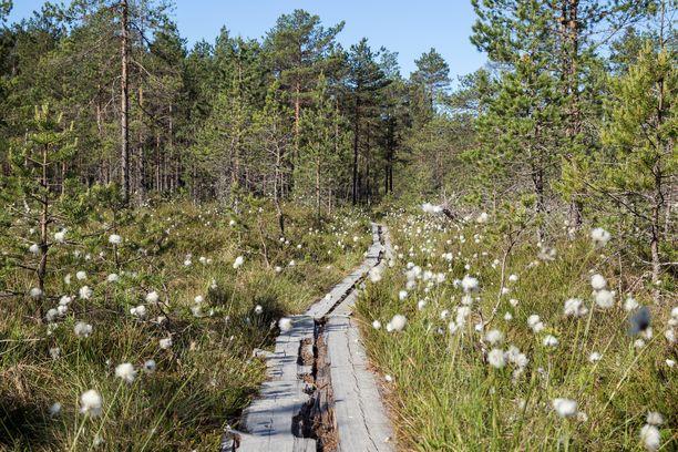 Pitkospuut Puurijärven ja Isonsuon kansallispuistossa.