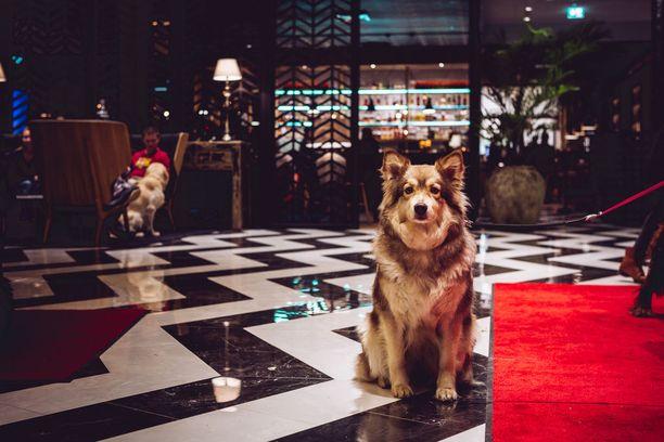 Kuvassa poseeraava Muru-koira oli yksi lentokenttähotellin viime uudenvuodenaaton arvovieraista.