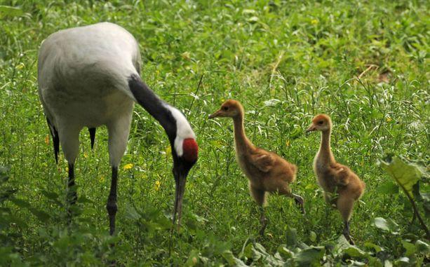 Berliinin eläintarhan mantšuriankurjen pienokaisten syntymästä on joitain viikkoja.