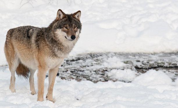 Tarhasusien hyökkäys on herättänyt keskustelua myös villisusien metsästysluvista.