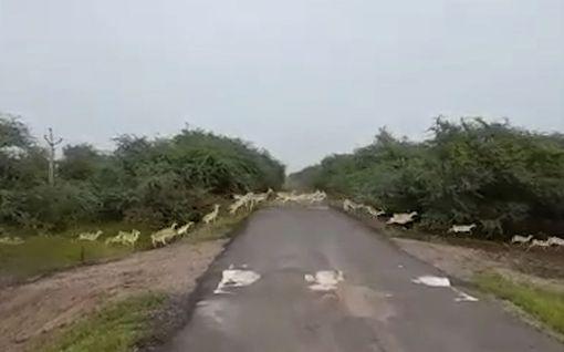 Psykedeelinen näky Intian kansallispuistossa – tuhannet peurat loikkivat jonossa tien yli