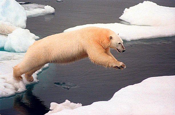 Arktisen jääpeitteen sulaminen tappaisi jääkarhut sukupuuttoon.
