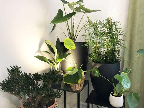 Viherkasvit tuovat kotiin eloa ja niitä saa nyt olla paljon.