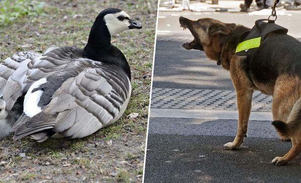 Karkotukseen on käytetty paimensukuisia koiria.