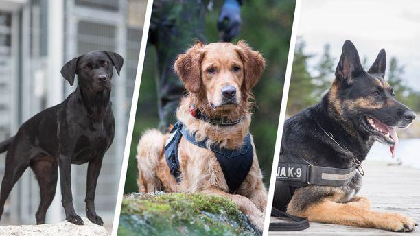 Virkakoirat palkitaan Helsingin messukeskuksessa Koiramessuilla 7. joulukuuta. Poliisi, Tulli, Rajavartiolaitos, Rikosseuraamuslaitos ja Puolustusvoimat ovat valinneet palkittavat koirat.