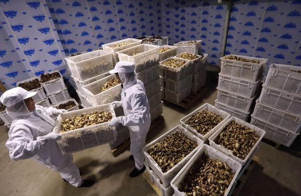 Kiinalaisia työläisiä pakkaamassa matsutake-sieniä vientiin.