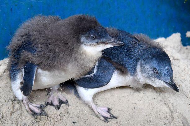 Sinipingviinit ovat pienen linnun kokoisia.