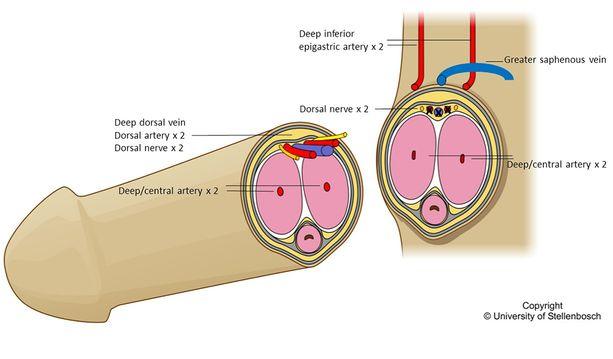 Yliopiston julkaisema kaavakuva siitä, miten saajan ja luovutetun elimen verisuonet, hermot ja muu tarvittava yhdistettiin.