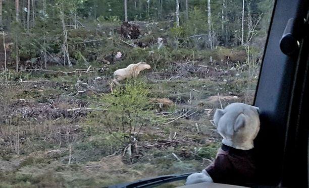 Takanen on liikkunut paljon tiellä ja harrastaa metsästystä, mutta valkoinen hirvi tuli silmien eteen ensimmäistä kertaa.