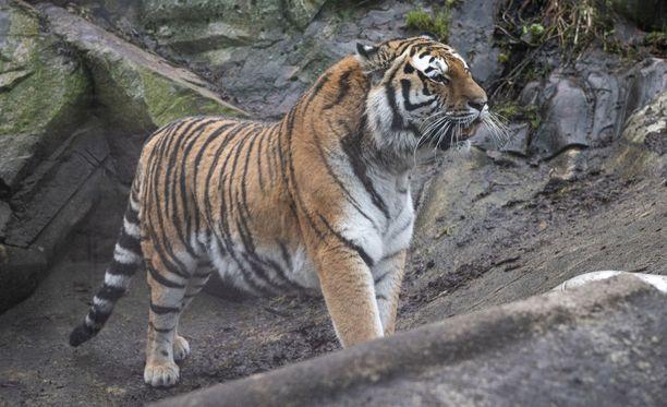 Korkeasaaren tiikerit kaipailevat lisää pehmoleluja.