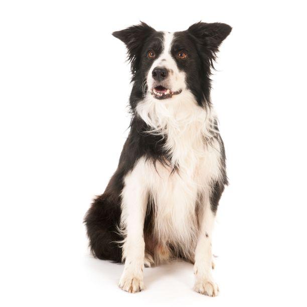 Bordercollie on nykyään suosittu harrastuskoira, ja se vaatii aktiivisen omistajan. Alustavissa käyttäytymistutkimuksissa siitä piirtyy kuva erittäin energisenä koirana, jonka keskittyminen ja tasaisuus ovat huippuluokkaa.